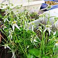 ハルユキノシタの開花