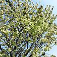 八重桜:御衣黄