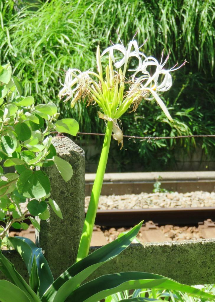 ハマユウ(浜木綿)