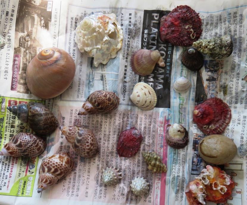 収穫:佐渡の貝