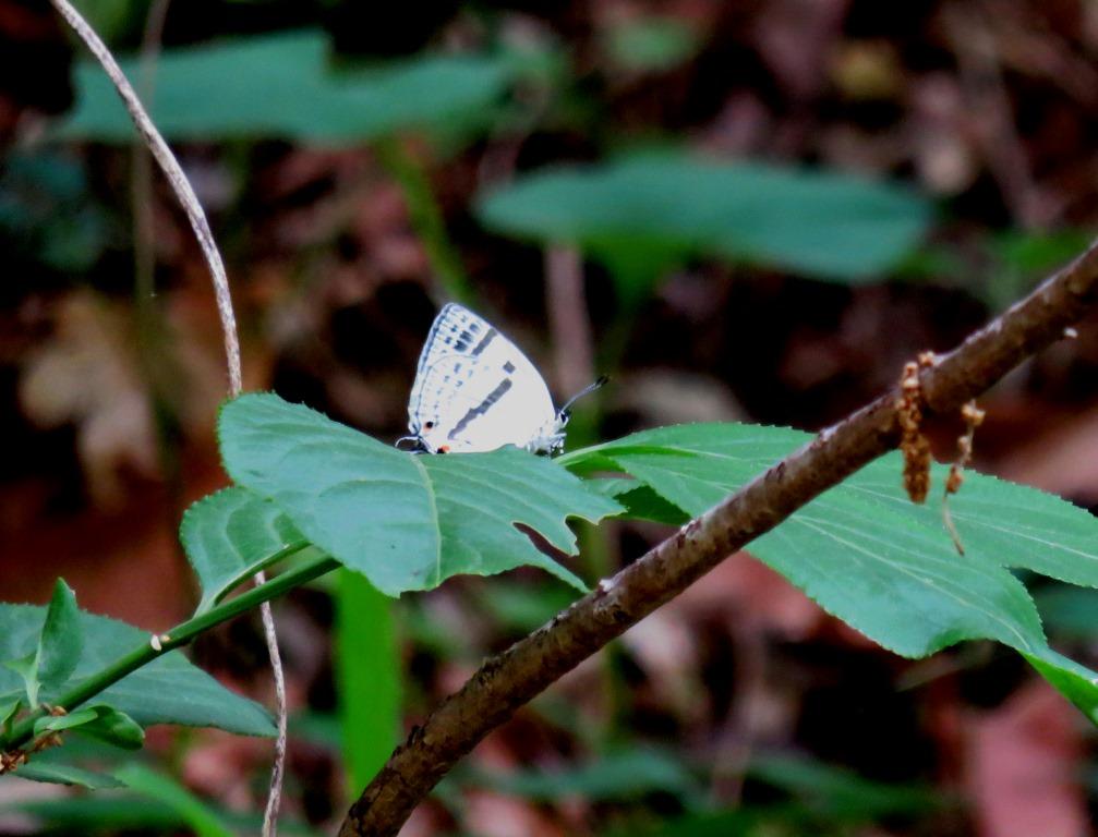 チョウ:ミズイロオナガシジミ