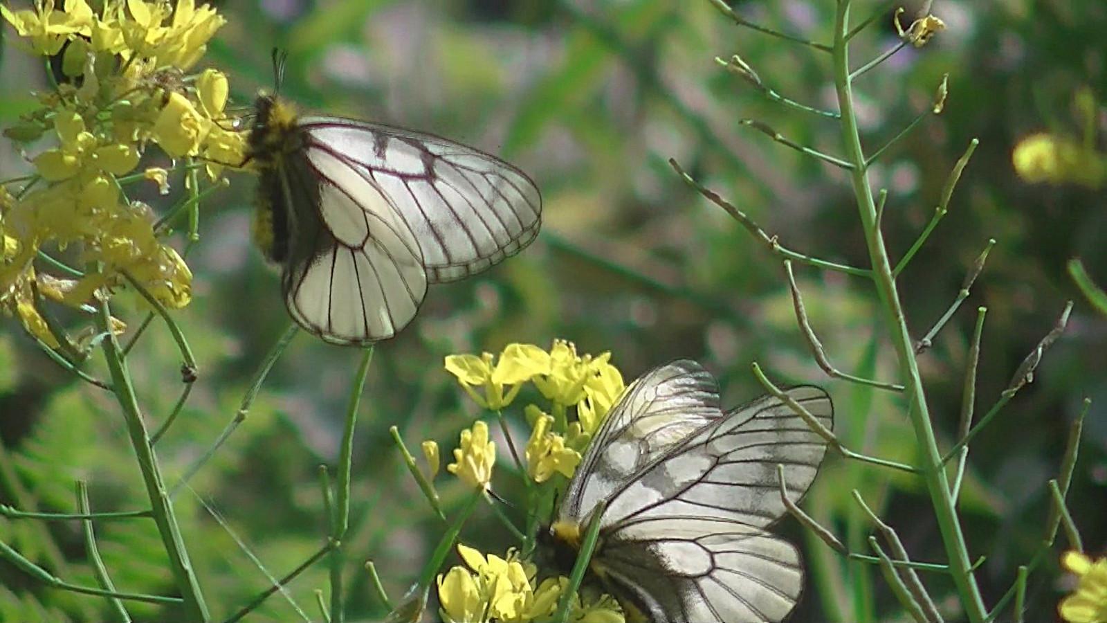 チョウ:ウスバシロチョウのペア