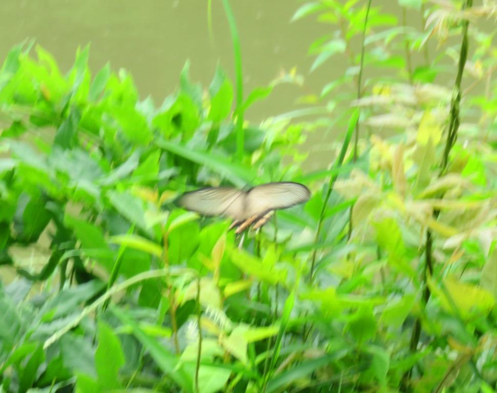 チョウ:ジャコウアゲハ