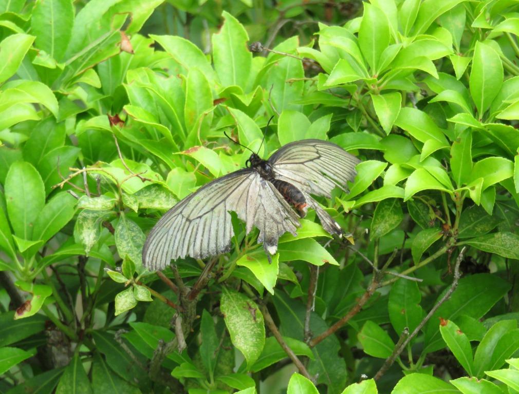チョウ:ジャコウアゲハ♀