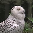 フクロウ科 シロフクロウ